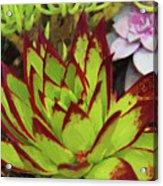 Lipstick Or Echeveria Agavoides At Balboa Park Acrylic Print