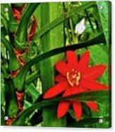 Lipstick Plant Flower Acrylic Print