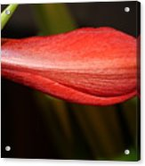 Lipstick Red Amarillis Acrylic Print