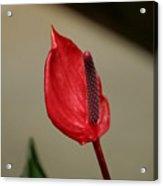 Lipstick Red Acrylic Print