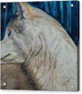 Listening Coyote Acrylic Print