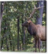 Listening To His Bugle Acrylic Print