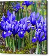 Little Baby Blue Irises Acrylic Print