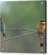 Little Bee-eaters Acrylic Print