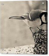 Little Bird Feeding Acrylic Print