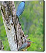 Little Blue And Green Heron Acrylic Print
