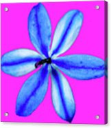 Little Blue Flower On Dark Pink Acrylic Print