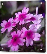 Little Blue Flowers  Acrylic Print