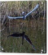 Little Blue Heron Flying From Marsh Acrylic Print