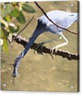 Tricolored Heron Fishing Acrylic Print