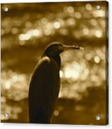 Little Blue Heron In Golden Light Acrylic Print