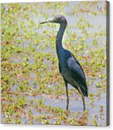 Little Blue Heron In Weeds Acrylic Print