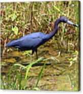 Little Blue Heron Acrylic Print