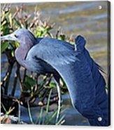 Little Blue Heron Sunbathing Acrylic Print