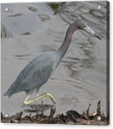 Little Blue Heron Walking Acrylic Print