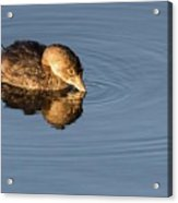 Little Brown Duck Acrylic Print