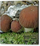 Little Brown Mushrooms In Moss Acrylic Print