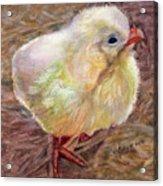 Little Chick Acrylic Print