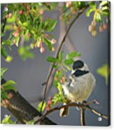 Little Chickadee In The Pink Acrylic Print