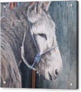 Little Donkey-glin Fair Acrylic Print