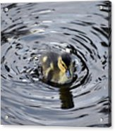 Little Duckling Goes For A Swim Acrylic Print