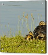 Little Duck's Moving Day Acrylic Print