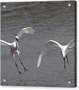 Little Egrets In Flight Acrylic Print