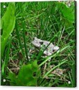Little Frog Big Voice Acrylic Print