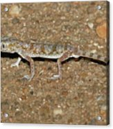 Little Gecko Acrylic Print