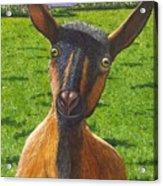 Little Goat Acrylic Print