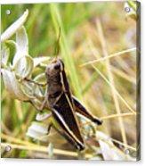 Little Grasshopper 2 Acrylic Print