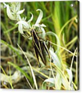 Little Grasshopper Acrylic Print