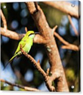 Little Green Bee Eater On A Branch Acrylic Print