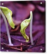 Little Green Sprouts  Acrylic Print