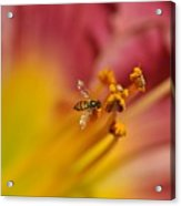 Little Hoverfly Acrylic Print