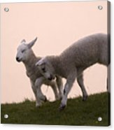 Little Lambs Acrylic Print