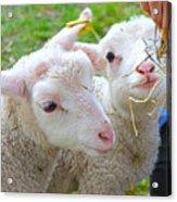Little Lambs Eat Straw Not Ivy Acrylic Print