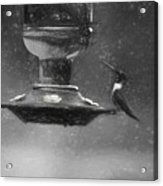 Little Male Hummingbird In Charcoal Acrylic Print