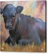 Little Moo  Angus Calf Painting Southwest Art Acrylic Print