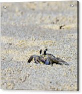 Little Nag's Head Crab Acrylic Print