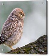 Little Owl Chick Practising Hunting Skills Acrylic Print