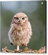 Little Owl Chick Acrylic Print