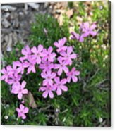 Little Pink Flowers Acrylic Print