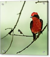 Little Red Beauty - Vermilion Flycatcher Acrylic Print