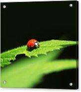 Little Red Ladybug On Green Leaf Acrylic Print by Christina Rollo