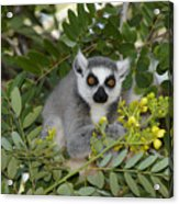 Little Ring-tailed Lemur Acrylic Print