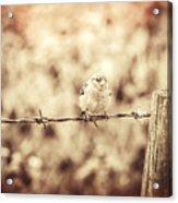 Little Sparrow Acrylic Print