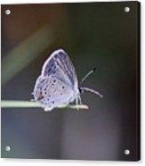 Little Teeny - Butterfly Acrylic Print