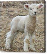 Little White Lamb Acrylic Print
