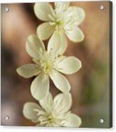 Little White Wildflowers  Acrylic Print